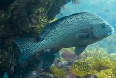 DSC_1088.jpg (d3_plus) Tags: sea sky fish beach japan scenery diving snorkeling  shizuoka    izu     minamiizu     nikon1 hirizo   paintedsweetlips  nakagi nikon1j1 1nikkor185mmf18  beachhirizo misakafishingport