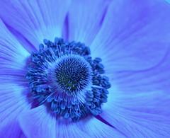Feeling Blue (charlottz - Charlotte G Photography) Tags: blue flower detail macro closeup one petals sad patterns centre stamens textures solo single middle delicate mondays feelings macromonday