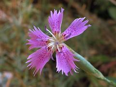 Clavellina de rocas * Dianthus lusitanus (jacilluch) Tags: pink flower macro fleur flor blossoms rosa sweetwilliam dianthus carnation silvestre clavel clavelina clavellina dianthuslusitanus clavellinaderocas