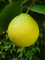Lemon (Trewia) Tags: green yellow lemon sumer