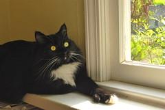 Batman's wide-open eyes (rootcrop54) Tags: batman black cat longhair polydactyl hemingway extratoes goldcoins burnishedgold eyes mitten mittens 고양이 macska kedi 猫 kočka kissa γάτα köttur kucing gatto kaķis katė katt katzen kot pisică кошка mačka maček gorbe kitteh cc1000 cc15000