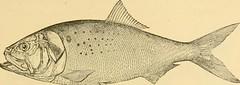 Anglų lietuvių žodynas. Žodis genus sardina reiškia genties sardina lietuviškai.