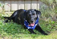 gardening (lisa24270) Tags: dog pet black labrador
