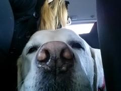 Driving (missjessicab) Tags: dogs car maxxie