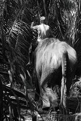 The elephant, the man, and the tree -  Thailand (Asia Trip Tour - Sbastien Pagliardini) Tags: voyage trip travel elephant tree thailand photo google couple asia cambodge noir khmer photographie tour transport oeil traveller route queue travail asie trio et foret blanc chemin traveler trajet trompe sauvage trotter faune heureux lphant