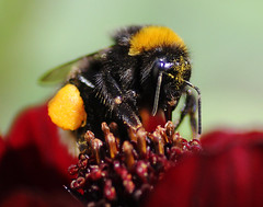 Bee on chocolate cosmos (Chris Kilpatrick) Tags: chris nature insect bee douglas isleofman canon60d