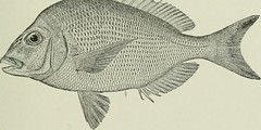 Anglų lietuvių žodynas. Žodis stenotomus aculeatus reiškia <li>stenotomus aculeatus</li> lietuviškai.