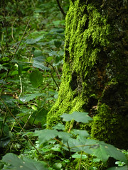 Green (gripspix (catching up slowly)) Tags: tree green nature forest moss natur grn wald baum moos nikon9100 20140804