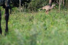 Seriema (Johnny Photofucker) Tags: seriema pássaro passero bird uccello ave bicho animal animale mg minasgerais cerrado lightroom fauna brasil brazil brasile bomdespacho