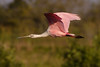 Spoonbill Flyby (J Baker Photography) Tags: florida wetlands brightcolors flight roseate spoonbill matingcolors