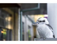Waiting For Bacon (red stilletto) Tags: thedandenongs thepiggerycafe burnhambeeches sassafras famousflickrfive kookaburra bird australianbird