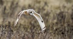 I see you! (They call me Joey!) Tags: ladner20170320withdennisducklow owl shortearedowl raptorbirds birdsofprey talonsclawsfeathersbeak