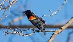 7K8A6684 (rpealit) Tags: scenery wildlife nature east hatchery alumni field hackettstown redwinged blackbird bird