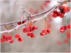 (melolou) Tags: berries red light branch