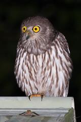 Barking Owl (Jay Packer) Tags: oceania animalia chordata amniota aves barkingowl vertebrata archosauromorpha australia reptilia tetrapoda diapsida location strigiformes strigidaeowls queensland animals birds ninoxconnivens
