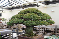 Bonsai, National Arboretum 127516 (thw05) Tags: art bonsai dc nature northamerica penjing people places thwilliamsphotography thomashwilliams thwphotoscom trees usnationalarboretum us usa washington tree plant