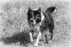 13/52 ... wet dog ... (neurosheep) Tags: omdweek132017 52weeksfordogs challenge3 bordercollie drift