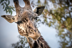 Giraffe Greetings (helenehoffman) Tags: kenya masaigiraffe giraffacamelopardalistippelskirchi sandiegozoo giraffe kilimanjarogiraffe conservationstatusthreatened sire tanzania animal