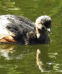 Splish-splash - Australasian Grebe (Free_aza_Bird) Tags: wilson botanic gardens berwick victoria australia bird birder australasian grebe tachybaptus novaehollandiae tachybaptusnovaehollandiae