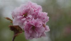 Happy Easter.. (Ollie_57.. on/off) Tags: flower bloom tree leaves flora petals cherryblossom prunus sakura nature pink closeup dof bokeh canon ef24105mm 7d spring apr 2017 shaldon devon westcountry england uk affinityphoto ollie57 桜 ngc npc