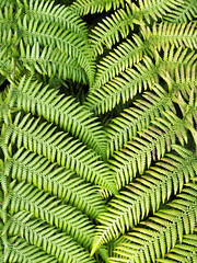Ferns (CJPhotography UK) Tags: nature natur natural flora plants plantlife plant fern ferns leaves leaf green yellow outdoors sun sunlight light lighting park spring zoom macro macrophotography canon closeup colours texture textures shadows