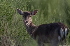 Biche (gilbert.calatayud) Tags: biche cervidés mammifères ruminants femelle pecora busque tarn