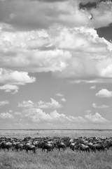The Great Migration - Tanzania (virtualwayfarer) Tags: serengeti tanzania eastafrica easternafrica tanzanian nationalpark wild safari adventuresafari adventure wildlife greatmigration nature landscape mara simiyu migration unesco unescoworldheritage heritage canon canon6d wilderbeast herd greatherd wildebeest gnus antelope connochaetes bluewildebeest