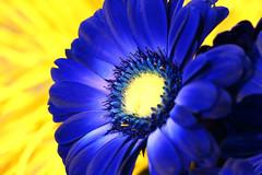 Blue & Yellow (Wim van Bezouw) Tags: gerbera blue yellow flower plant nature sony ilce7m2