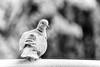 Pigeon © Inge Hoogendoorn (ingehoogendoorn) Tags: pigeon pigeons duif duiven shallowdepthoffield vogel vogels bird birds