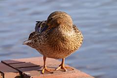 Wyndley Pool (tim ellis) Tags: bird duck mallard suttonpark wyndleygate wyndleypool suttoncoldfield uk