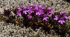 Thymus praecox ssp polytrichus (Wild Thyme) (Hugh Knott) Tags: thymuspraecoxssppolytrichus wildthyme flora zermatt lamiaceae switzerland helvetica valais