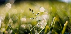 ILCE-6000-07511-20170420-0735-Pano // Meyer-Optik Gorlitz Oreston 50mm 1:1.8 (Otattemita) Tags: 50mmf18 florafauna görlitz meyeroptik meyeroptikgörlitzoreston50mmf18 oreston fauna flora flower nature plant wildlife meyeroptikgorlitzoreston50mm118 sony sonyilce6000 ilce6000 50mm cnaturalbnatural ota
