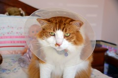 DSC_0069-1 (ScootaCoota Photography) Tags: cat animal pet cone shame injury grumpy sad bedroom indoors nikon maine coon rescue adopt dont shop