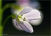 Lady's Smock #3 (Hindrik S) Tags: ladyssmock pinksterblom pinksterbloem cardaminepratensis wiesenschaumkraut lila green flower bloem blom blume plant flora macro 90mm tamronspaf90mmf28dimacro 2017 sonyphotographing sony sonyalpha a57 α57 slta57 tamron tamronspaf1750mmf28xrdiiildasphericalif paintshoppro x8 f28 1400 iso100 amount