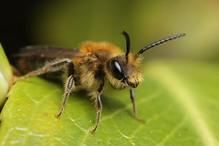 A cute male miner bee #1 (Lord V) Tags: macro bug insect bee minerbee andrena