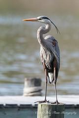 Great Blue Heron © (Rodolfo Quinio) Tags: greatblueheron nikond500 tamron150600mm magothyriver pasadenamd annearundelcounty waterbird wader aquaticbird heron water river bird nature wildlife