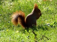 Sciurus vulgaris - Ecureuil roux (FR) - Red squirrel (UK) - Ardilla roja (ES) - Esquilo-vermelho (PT) - Scoiattolo comune (IT) - Rode eekhoorn (NL) - Europäisches Eichhörnchen (DE) - Almindeligt egern (DK) - Ekorn (NO) - Röd ekorre (SE) - Orava (FI) (Patrick Verhaeghe) Tags: sciurus vulgaris écureuil roux red squirrel ardilla roja