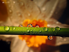 Spring drops... (Kerriemeister) Tags: daffodil daffodils water refraction reflection drops drop flower yello bokeh drips spring nikon