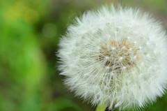 DSC_0863 (Marina Kamenetskaya) Tags: dandelion blowball taraxacum summer spring garden nature grain