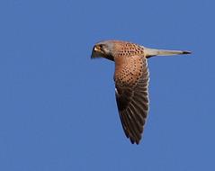 Kestrel in flight (Jillandcamera) Tags: kestrel donnanook lincs