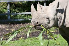 Eastern Black Rhinoceros (Pabs777) Tags: chesterzoo chester zoo easterneuropeanblackrhinoceros rhinoceros rhino black blackrhino animal nature 2010 nikon nikonafs70300mmvr nikond80 animalplanet