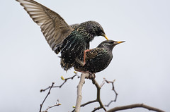 Making Little Stars -2 (Margaret S.S) Tags: mating starlings birds