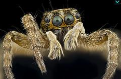 """spider with huge eyes"" (aspolatt) Tags: sony nikon mitutoyo zerene bugslabber macro micro microphotography macrophotography macromonday makro closeup detail insect bug animal nature beautiful focusstacking a7ii turkey azerbaijan"