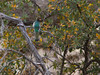 Elegant Trogon (npaprock) Tags: trogonelegans trogon eleganttrogon arizona birds