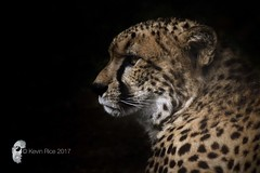 Beautiful profile (Grains of Rice) Tags: cheetah bigcats chesterzoo chester sony sonydslr sonyalpha65 gssm conservation
