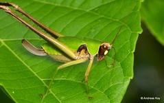 Katydid, Ceraia sp.? (Ecuador Megadiverso) Tags: amazon andreaskay ceraiasp ecuador idbyholgerbraun katydid orthoptera phaneropterinae tettigoniidae grasshopper subadult