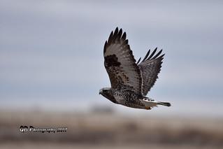 Rough-legged Hawk DSC_2533