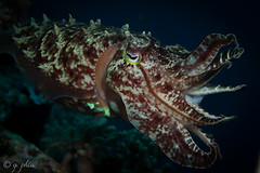 2015, wakatobi, trail blazer, broad club cuttlefish (1 of 1) (q.phia) Tags: wakatobi indonesia 2015 cuttlefish cephalopods octopus tunicate anemonefish cardinalfish seaurchinskeleton leaffish scorpionfish nudibranch trumpetfish anemone flabellina corals seaturtle wideangle macrophotography scuba diving ocean sea flatworm coralbleaching crinoid southeastasia