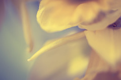 floral abstract (t1ggr) Tags: floral artistic abstract softtones pastel dof blur flower closeup macro floralart