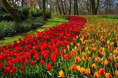 Spring lives here (marypink) Tags: tulips spring parcokeukenhof olanda primavera nikond7200 nikkor1635mmf40 thenetherlands lisse bollenstreek